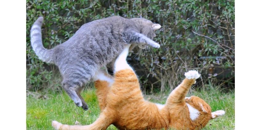 Что делать если  кошки дерутся?